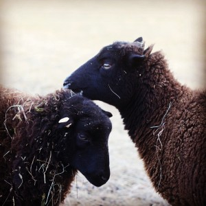 Black Welsh Mountain Sheep Ewes